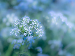 Parsley Sparkle (Lindsey1611) Tags: umbelliferwednesday umbellifer umbellifersunlimited cowparsley sparkles nature spring flowers littleflowers bokeh