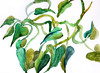A watercolour sketch of an Arrowhead Philodendron (elizabatz.jensen) Tags: plant vine sketch arrowhead philodendron watercolour