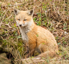Cute Kit (tresed47) Tags: 2018 201804apr 20180409bombayhookbirds animals april bombayhook canon7d content delaware folder fox peterscamera petersphotos places season spring takenby us ngc npc