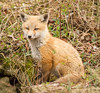 Cute Kit (tresed47) Tags: 2018 201804apr 20180409bombayhookbirds animals april bombayhook canon7d content delaware folder fox peterscamera petersphotos places season spring takenby us ngc