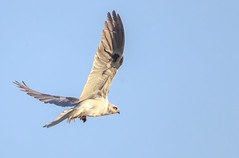 White-Tailed Kite with a gopher  (Elanus leucurus) (sharp shooter2011) Tags: whitetailedkite raptor avianphotography birdphotography canon canoneos1dxmarkii birdsinflight raptorinflight ap birdsofprey elanusleucurus