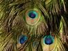 Eyes.... Augen! (Christa_P) Tags: 7dwf filltheframe nature pfau peacock eyes augen feather feder