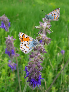 Rare and endangered butterflies -Tomares nogelii