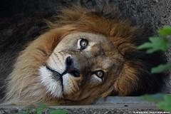 African Lion - Artis (Mandenno photography) Tags: animal animals african lion lions leeuw leeuwen artis amsterdam ngc nederland netherlands nature dierenpark dierentuin dieren zoo bigcat big cat ceasar