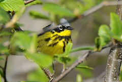 Magnolia Warbler (DRGorham) Tags: magnoliawarbler cumberlandcounty nsphoto
