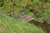 Old Dam (Vegan Butterfly) Tags: whitemud ravine nature reserve edmonton alberta creek river beaver dam green grass
