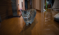 2017.10.9: elisa (Nazra Z.) Tags: munchkin cat home indoors pet animal okayama raw 2017 japan walking