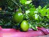 Maracujá (Janos Graber) Tags: fruta maracujá verde folhas tijuca riodejaneiro 2 dois