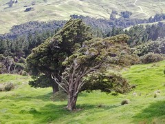 Going with the Flow (mikecogh) Tags: newzealand trees wind prevailing leaning nature idiom flow hoteonorth