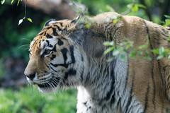 DSC_6971_DxO (Petr Marsal) Tags: feline bigcat striped mammal carnivore tropicalrainforest outdoors animalhunting large bengaltiger animalinthewild danger undomesticatedcat nature wildlife tiger animal