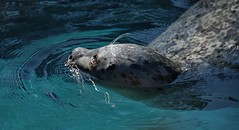 Seal The Deal (Scott 97006) Tags: animal zoo cute swimming pool seal