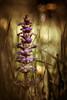Helios 44-2 (woo_73) Tags: helios 442 m42 altglas natur nature flower blume wiese meadow helios442