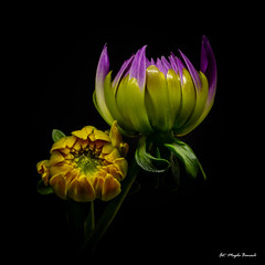 Two buds (Magda Banach) Tags: canon canon80d sigma150mmf28apomacrodghsm blackbackground buds colors dahlia flora flower green lilac macro nature plants yellow