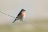 Linotte mélodieuse (Pauline Moinereau) Tags: bird cardueliscannabina commonlinnet fringillidae fringillidés linariacannabina linottemélodieuse oiseau passériformes passereau passerine