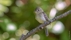 Pacific-slope Flycatcher (Empidonax difficilis) (Tony Varela Photography) Tags: empidonaxdifficilis flycatcher psfl pacificslopeflycatcher photographertonyvarela
