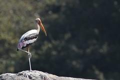 Painted Stork (SivamDesign) Tags: canon eos 550d rebel t2i kiss x4 300mm tele canonef300mmf4lisusm kenko pro300 caf 14x teleplus dgx bird fauna painted stork paintedstork mycterialeucocephala ranganathittu