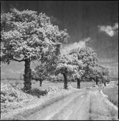 trees (steve-jack) Tags: hasselblad 501cm 80mm cb ilford sfx 200 zomei 720nm filter film 120 6x6 backingpapervsemulsion hertfordshire buntingford perceptol epson v500