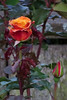 Roses in the backyard of our San Francisco home 180516-201801 C4A (Wambeke & Wambeke Photography, Art, & Textiles) Tags: backyard flowers rose roses backyardrose twilight dusk charliewambekephotography charliesphotoart charliewambekephoto charliewambekephotograph charliesphotoartcom canonpowershotsx50photograph canonsx50photograph canonsx50photo wambekewambekephotographyarttextiles wambekewambeke wambekeandwambekephoto wambekeandwambekephotography wambekewambekephotographyquiltingspecialists