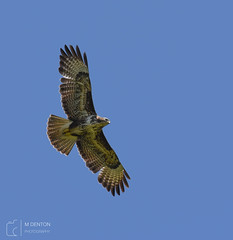 Buzzard (mikedenton19) Tags: buzzard buteo buteobuteo bird prey birdofprey flight birdinflight wildlife nature raptor castlehoward northyorkshire yorkshire