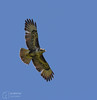 Buzzard (mikedenton19) Tags: buzzard buteo buteobuteo bird prey birdofprey flight birdinflight wildlife nature raptor castlehoward northyorkshire yorkshire
