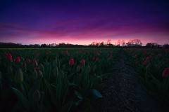 Red tulips (l.cutolo) Tags: flickr almostnight highcontrast worldtrekker lisse tulip tulipfield blomen worldtrekking lucacutolo red flowers dutchscape tulips purplesunsetsky sunset onesoftware purplesky netherlands perfecteffect raw2018 flowerfiled vignette landscape tlp digitalblending sonya7ii purple saturation hdr ngc dutchlandscape keukenhof onone sony hollandscape sonyfe1635mmf28gm cokinfilter