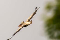 The Pelicans return to Kumarakom (JohnKuriyan) Tags: kumarakom kerala india in