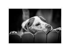Lookin' for a home (Boomingecho) Tags: shelter animalshelter pittie americanpitbullterrier millie canine dog adopt dontshop spay neuter