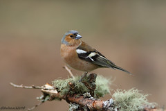 Male Chaffinch (Georgiegirl2015) Tags: chaffinch finches birds bbcwalesnature bird avian garwantmerthyr trees wildlife wales woodlands spring canon countryside ef300mm moss dellalack april2018
