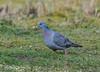 Stock Dove 29-03-2018-5138 (seandarcy2) Tags: dove stock sandy beds uk the lodge birds wildlife woodland