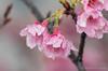IMGP7384 (Nature Photo with PENTAX) Tags: flower cherry cherryblossom bokh light flash nature okinawa water waterdrop macro tamron pentax