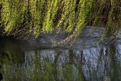 Carezza (lincerosso) Tags: acqua water fiume river acquefluenti fiumidirisorgiva lemene riflessi coloreverde salicepiangente salixbabylonica bellezza armonia