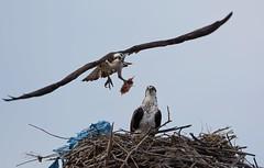 Osprey (JDA-Wildlife) Tags: birds birdsofprey raptors osprey nikon nikond7100 tamronsp150600mmf563divc jdawildlife johnny whatbirdbestofday wow