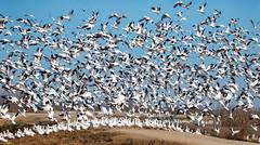 Blast off (alicecahill) Tags: nwr california usa wild nationalwildliferefuge ©alicecahill bird mercednwr blastoff goose whitefrontedgeese rosssgeese animal