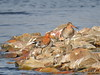 Black-tailed godwits (Corine Bliek) Tags: limosalimosa wader weidevogel vogel vogels dutch weilanden grasslands spring voorjaar lente bird birds birding wildlife nature natuur people photo