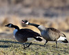 DSC_0854=2Canada Geese (laurie.mccarty) Tags: geese bird nature outdoor wildlife waterfowl animal