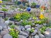 2018 Germany // Unser Garten - Our garden // im April // Sumpfdotter (maerzbecher-Deutschland zu Fuss) Tags: garten natur deutschland germany maerzbecher garden unsergarten 2018 april sumpfdotter