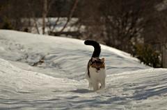 Åsta (KvikneFoto) Tags: åsta katt cat vinter winter snø snow norge hedmark kvikne bokeh nikon