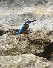 Common Kingfisher (Wild Chroma) Tags: alcedo atthis alcedoatthis kingfisher cyprus larnaca birds nonpasserines