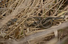 mating 'ball' of grass snakes, Natrix helvetica (willjatkins) Tags: snakes snake snakesofeurope wildlife wildlifeofeurope reptiles reptile reptilesofeurope europeanreptiles europeansnakes grasssnake natrix natrixhelvetica barredgrasssnake grasssnakematingball ukwildlife ukreptilesandamphibians ukamphibiansandreptiles ukreptiles uksnakes britishwildlife britishamphibiansandreptiles britishreptilesandamphibians britishreptiles britishsnakes oxfordshirewildlife otmoor rspbotmoor nikond7100
