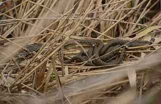 mating 'ball' of grass snakes, Natrix helvetica