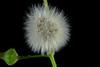 Soffione B (Franco Gavioli) Tags: 2018 fragavio francesco gavioli canonef100mmf28macrousm manfrotto785b scanlio macro augusta sicilia sicily fiore flower soffione dandelion