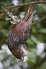 Zealandia ~ Kaka (whitebear100) Tags: zealandia wellington nz newzealand northisland 2018 kaka