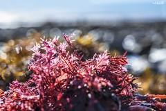 Seaside Pinks (red stilletto) Tags: thegreatoceanroad thegreatoceanroadvictoria greatoceanroad greatoceanroadvictoria thecoast torquay rockpools seaweed beachtreasures macro bokeh famousflickrfive