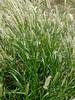 Grass of Greenland (zohaibusmann) Tags: grass greengrass freshgrass greenery loveofgrass grassandleaves grassandsoil springgrass grassfield greenfields zohaibusmanphotography poshe550 plantsandgrass ngc