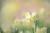 Daffodil (lfeng1014) Tags: daffodil flower spring springgarden macro macrophotography canon5dmarkiii 100mmf28lmacroisusm closeup bokeh soft lifeng light dof depthoffield