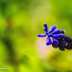 Simply Blue thumbnail