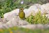 European Greenfinch Cyprus_w_6275