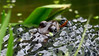 Spot The Frog (Obelus2000) Tags: frog spawn