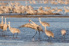 Sandhill_Cranes-05 (Beverly Houwing) Tags: nebraska sandhillcranes plattriver migration spring birds conservation cranetrust sanctuary protected coutship dance jump wings display flap leap impress ritual communicate grey gray unitedstates midwest