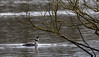 9Q6A8338 (2) (Alinbidford) Tags: alancurtis alinbidford brandonmarsh greatcrestedgrebe nature wildbirds wildlife